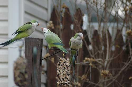 flickr-parrots-brooklyn.jpg